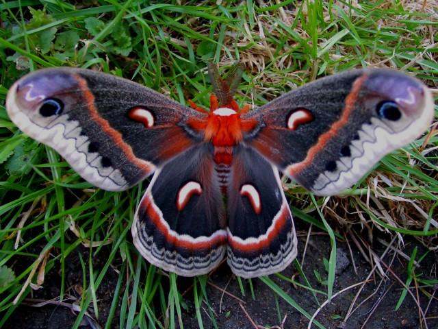 cecropia moth to send