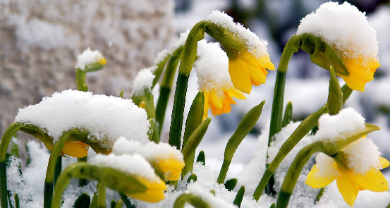 173-daffodils-in-snow-for-web