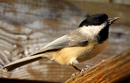 black_capped_chickadee_1