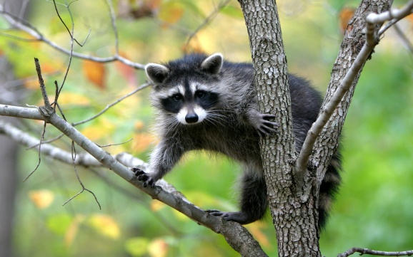 raccoons-on-a-tree-wallpaper-1